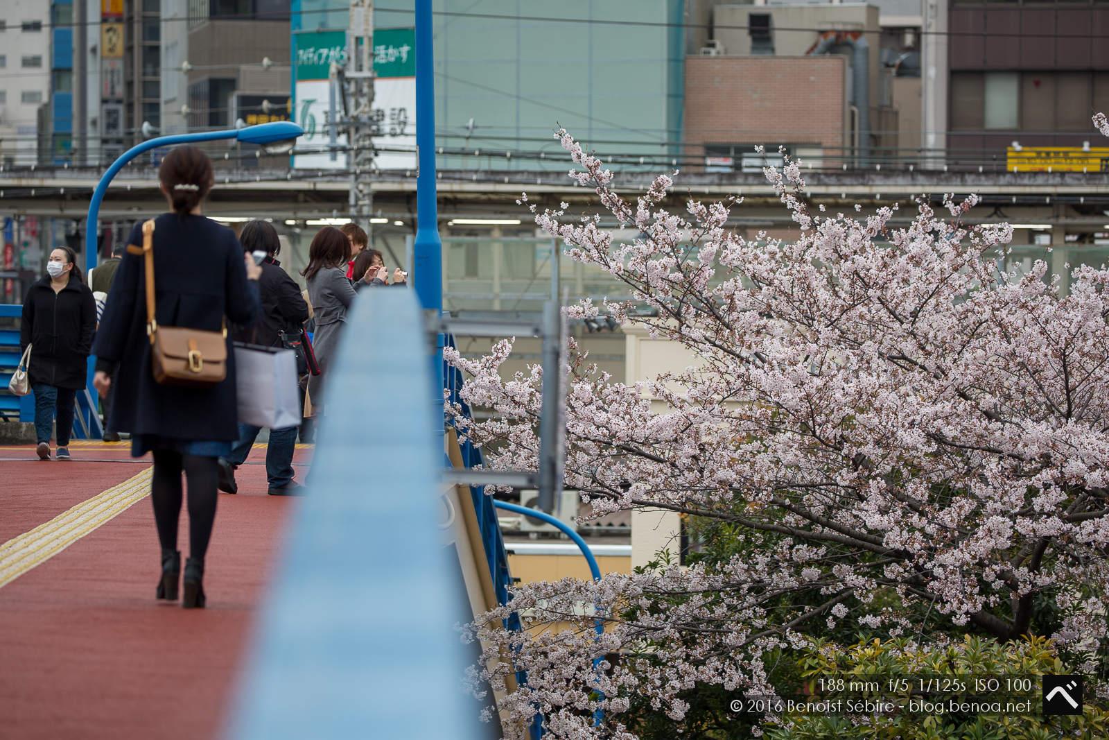 Hanami Walk