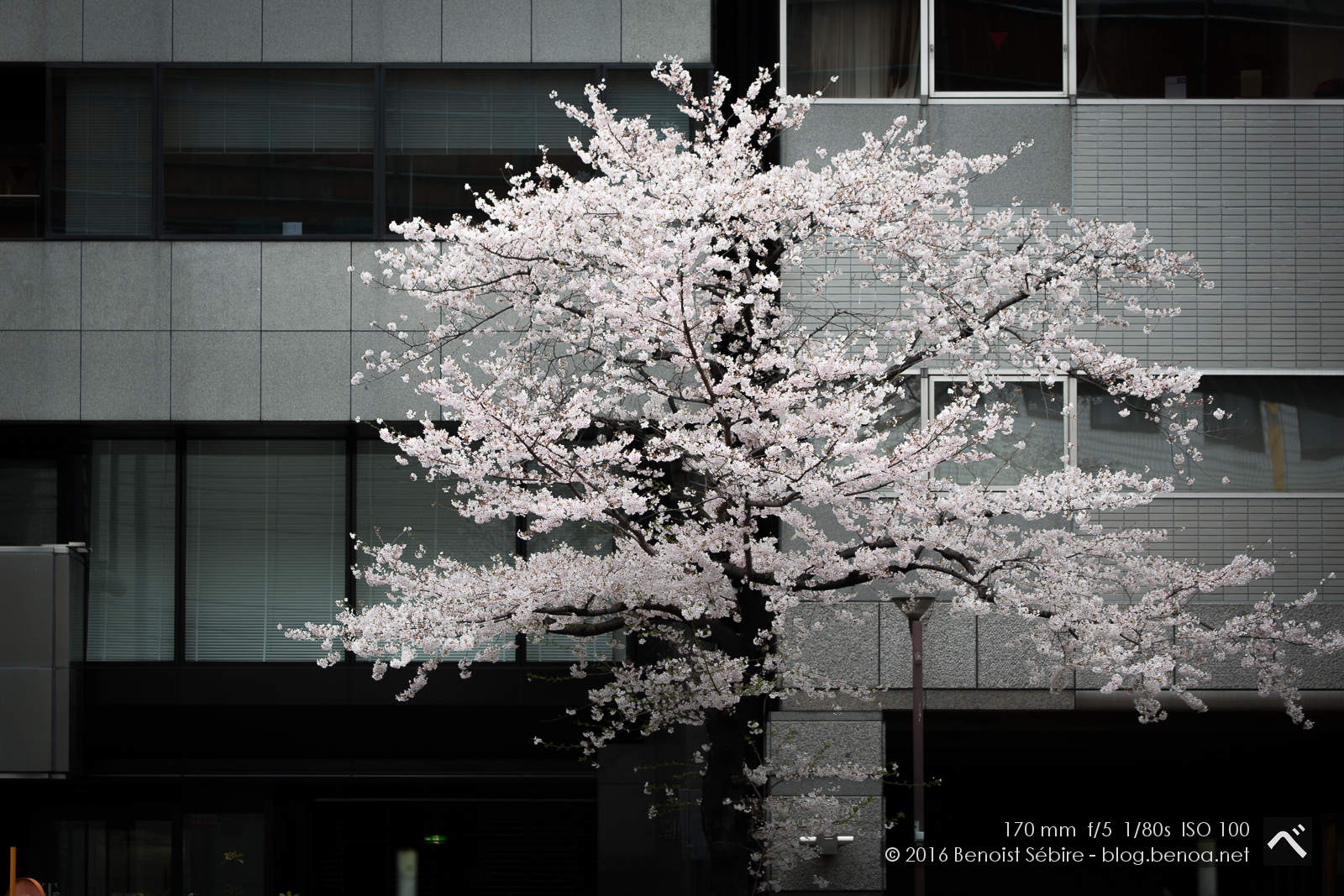 Lonely Sakura Tree