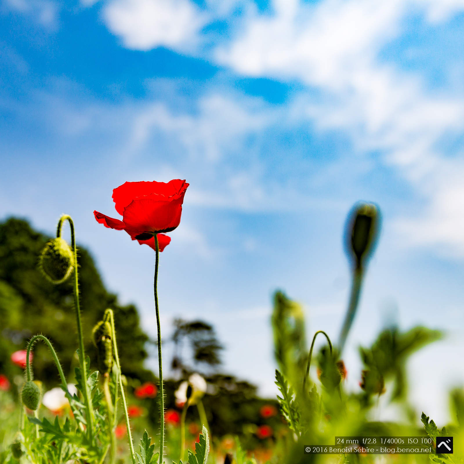 Poppy Flower Benoa In Japan