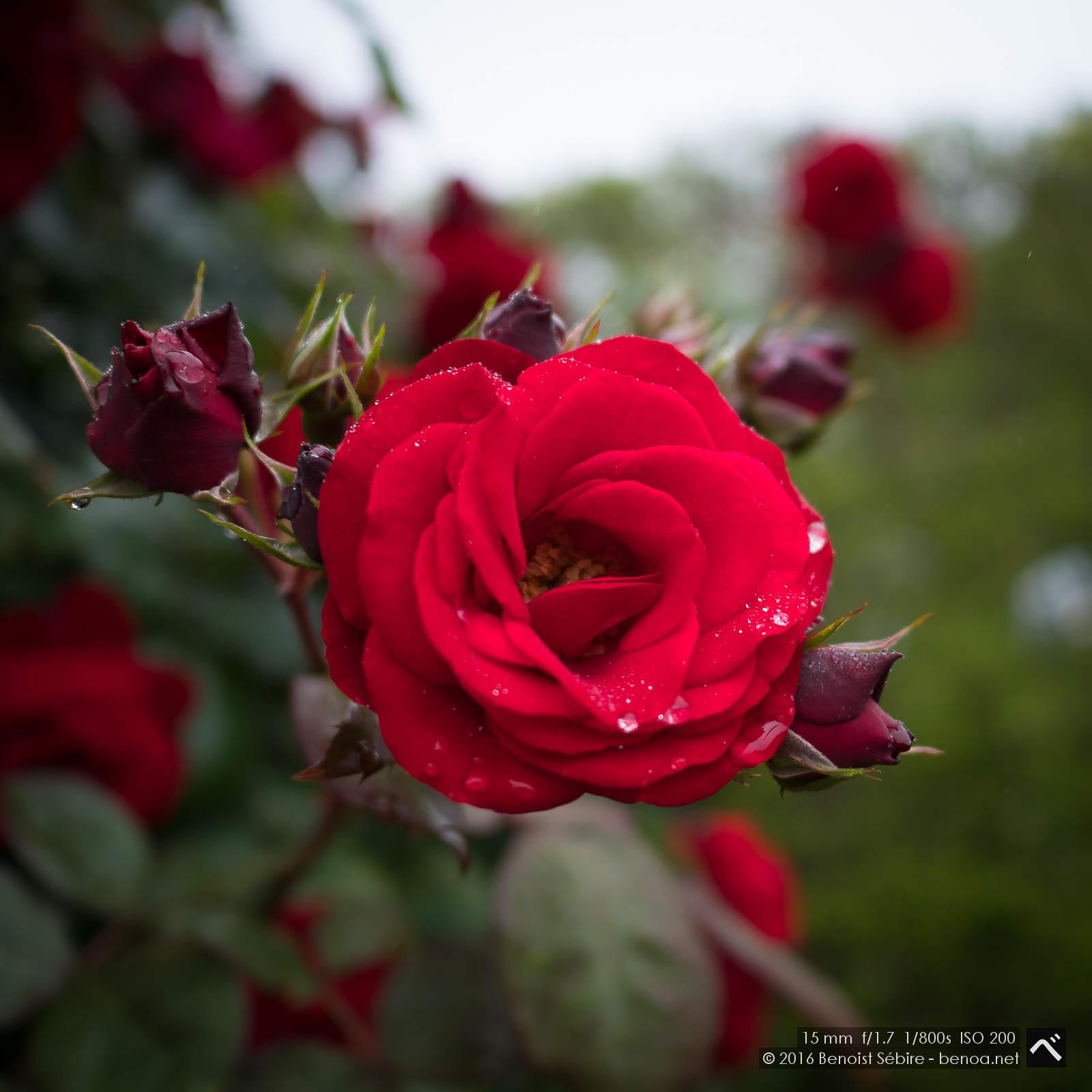 Roses and Rain