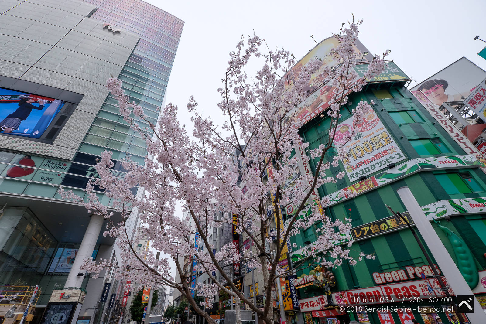 First Sakuras